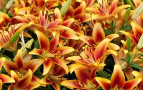 Оранжевые красивые лилии крупным планом