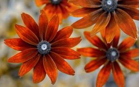 Оранжевые дары флоры эхинацеи крупным планом