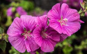 Лиловые дары флоры мальва на каплях росы