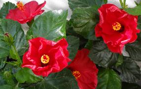 Красные дары флоры гибискуса от зелеными листьями крупным планом