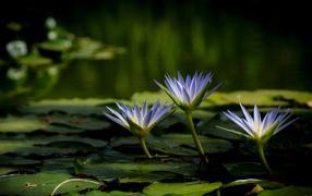 Три красивые фиолетовые кувшинки на воде