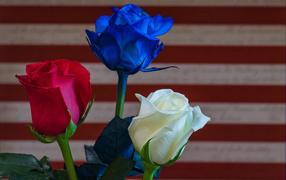 Три разноцветные розы крупным планом