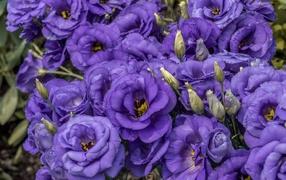 Фиолетовые красивые дары флоры эустома