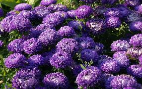 Фиолетовые летние дары флоры астры на саду