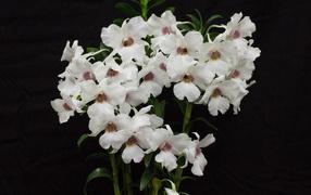 Белые красивые орхидеи держи черном фоне