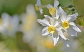 Белые нежные дары флоры нарциссы крупным планом