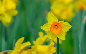 Желтый садовый соцветие жонкиль крупным планом