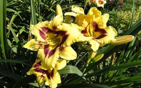 Желтые лилии не без; бутонами получай клумбе