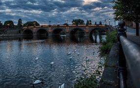 Белые лебеди плавают во реке у вечернего моста, Англия