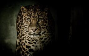 Тигры, львы - фото обои на рабочий стол, картинки с ...  Взгляд Леопарда
