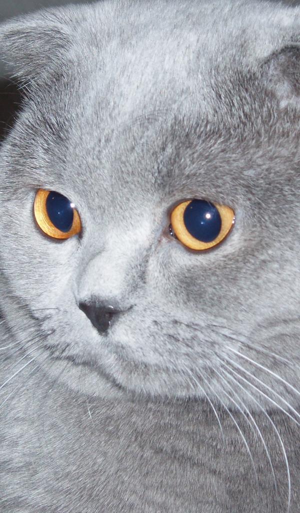 gray scottish fold cat desktop wallpapers 600x1024. Black Bedroom Furniture Sets. Home Design Ideas