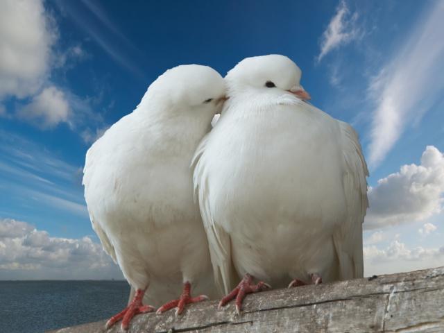 http://www.zastavki.com/pictures/640x480/2012/Animals_Birds_Dove_and_pigeon_033314_29.jpg