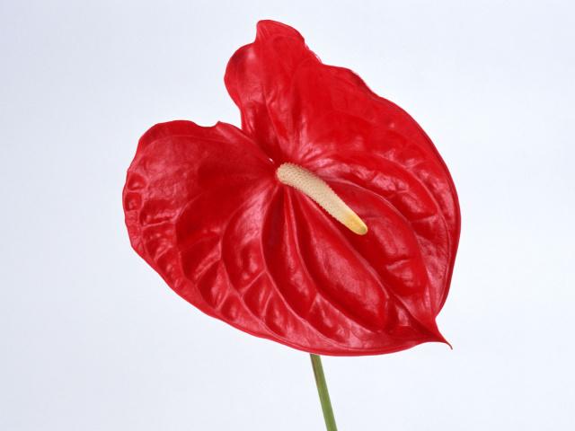 Цветы антуриум фото 14