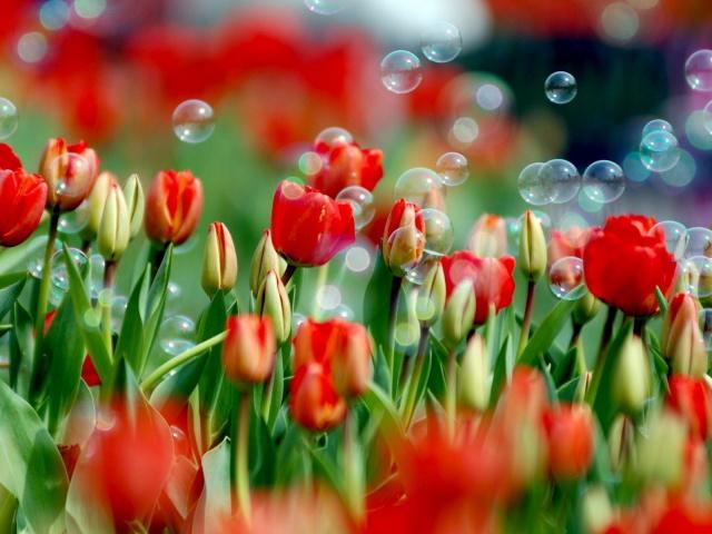 Обои тюльпаны и мыльные пузыри