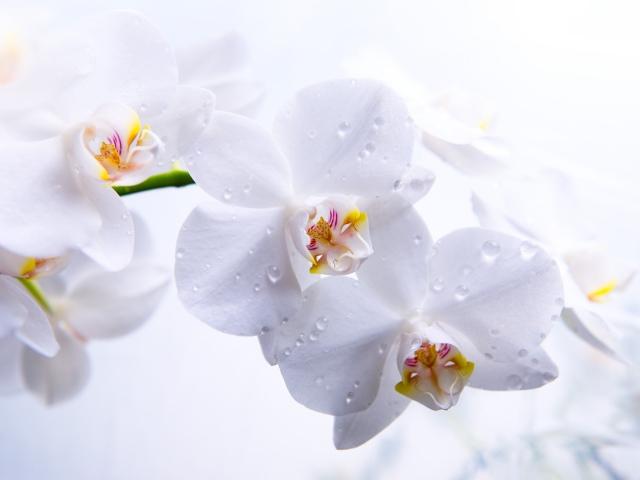 Фотообои в интерьере - Страница 2 Nature_Flowers_White_Orchid_035635_