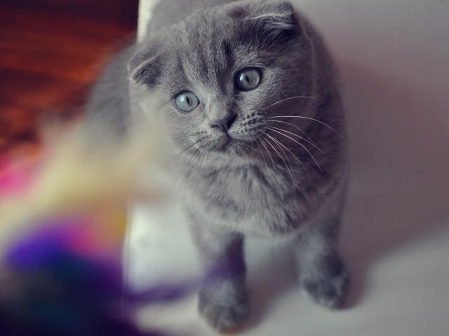Красивый серый шотландский вислоухий кот с серыми глазами