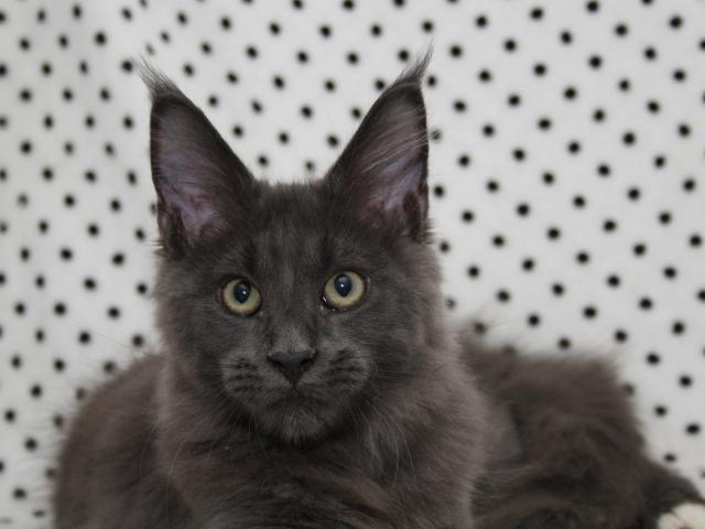 Dark Grey Maine Coon Kittens Black And Grey Maine C...