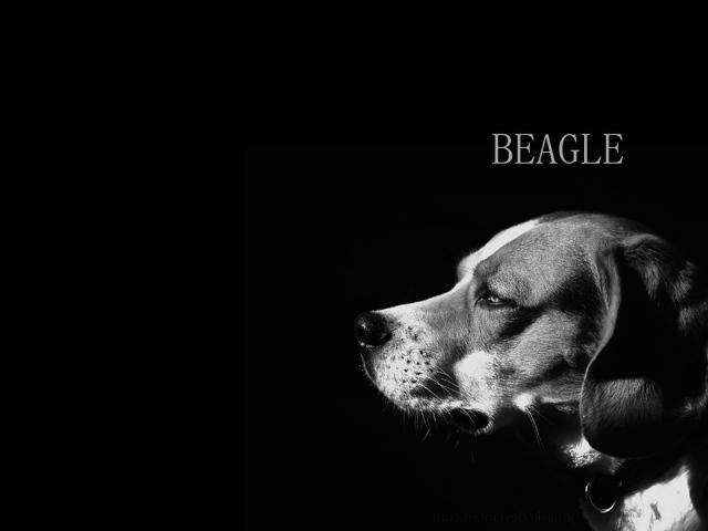 Собака породы бигль, чёрно-белая картинка - обои для ...