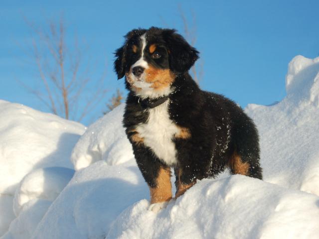 Best Bernese Mountain Dog Puppy Food