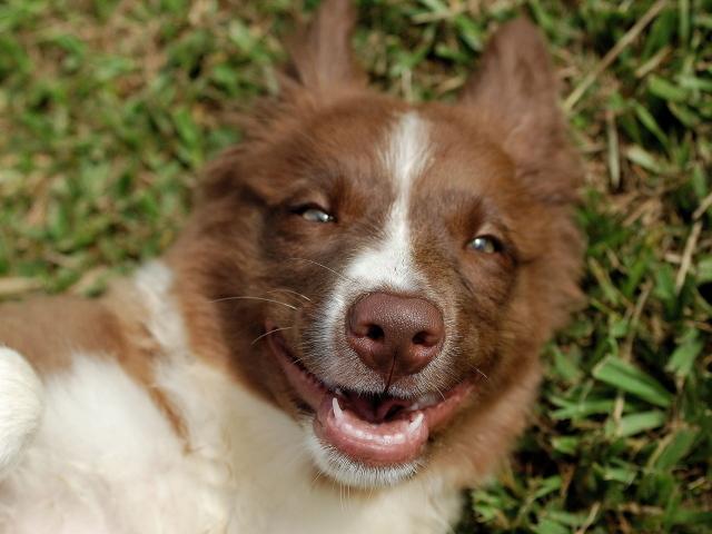 Обои мраморный окрас собака бордер колли Австралийская