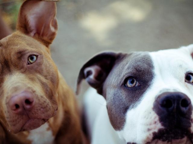 Скачать фото собаки питбуля