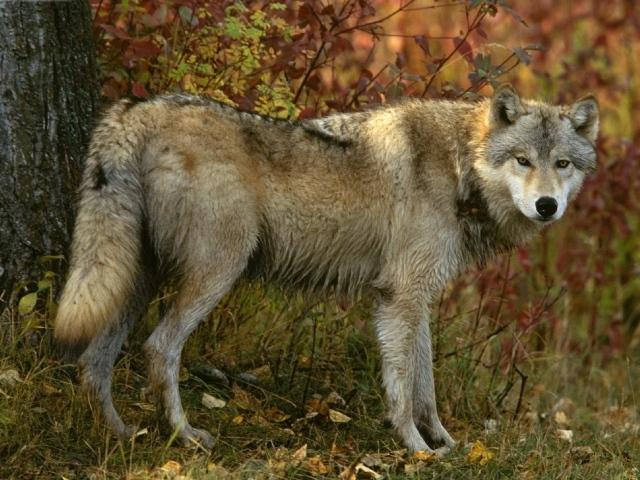 Обои хищник волк
