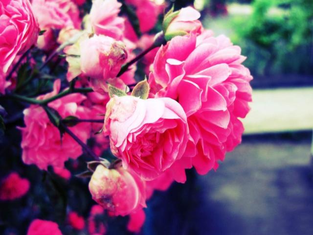 http://www.zastavki.com/pictures/640x480/2013/Nature_Flowers_Bright_roses_036783_.jpg