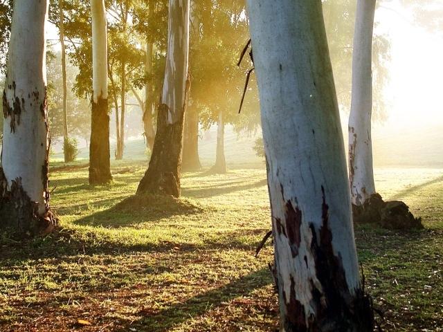 Nature   Forest Eucalyptus 042402 29