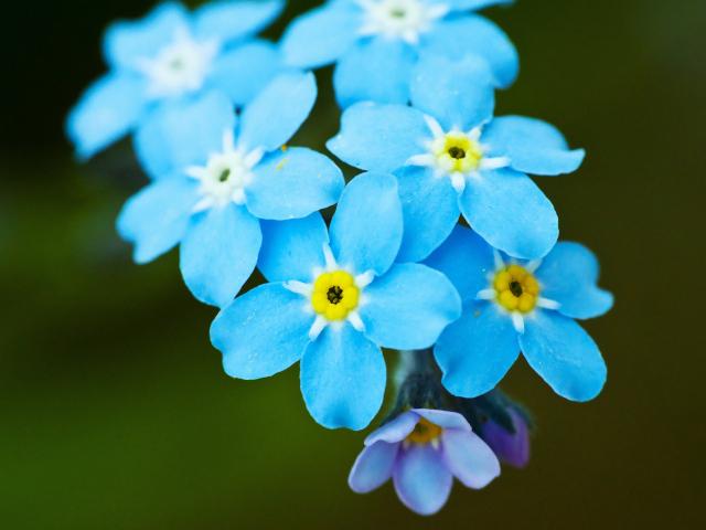 http://www.zastavki.com/pictures/640x480/2014/Nature___Flowers_Bright_beautiful_flowers_forget-me-_066024_29.jpg
