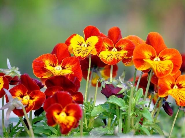 На поляне весенние цветы анютины глазки - обои для ...