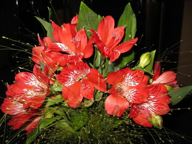 Alstroemeria Flower for Garden