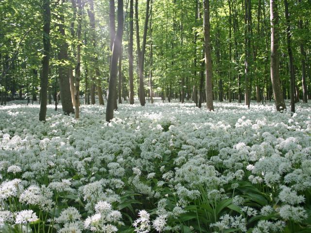 Весенние цветы в лесу - обои для рабочего стола, картинки, фото