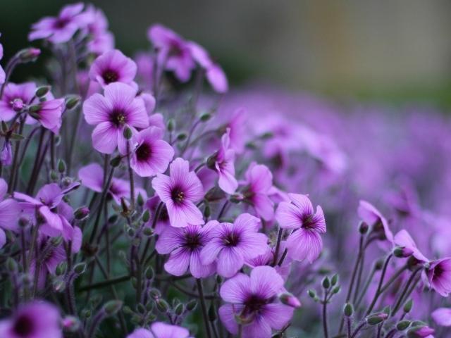 Нежные цветы герани