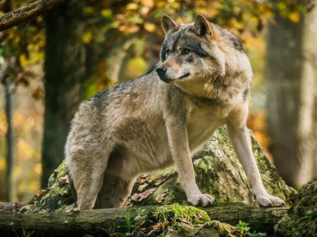 Большой волк в лесу стоит у камня - обои для рабочего ...
