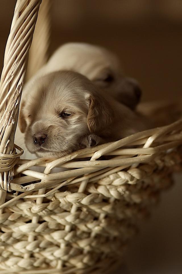 Puppies in a basket Desktop wallpapers 640x960
