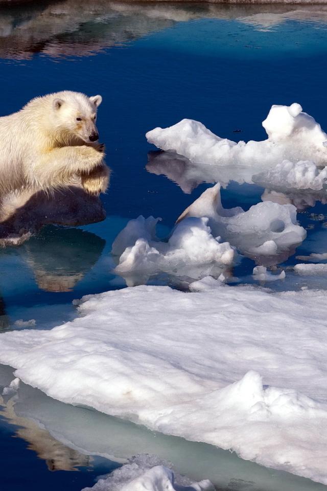 белые медведи в природе. видео