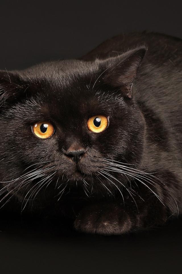 Angry fat black cat Desktop wallpapers 640x960
