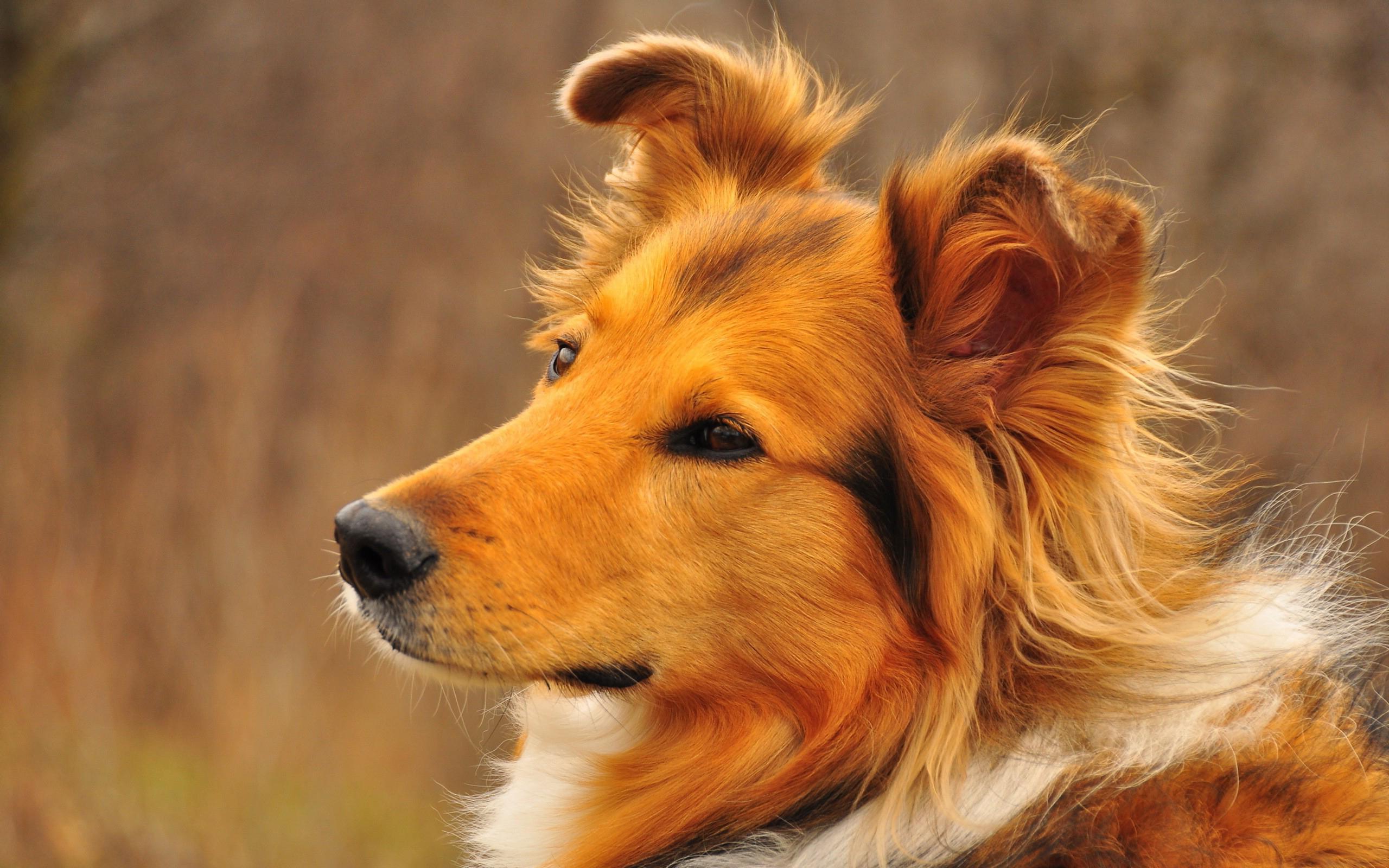 Nice Collie Dog Desktop Wallpapers 1024x768