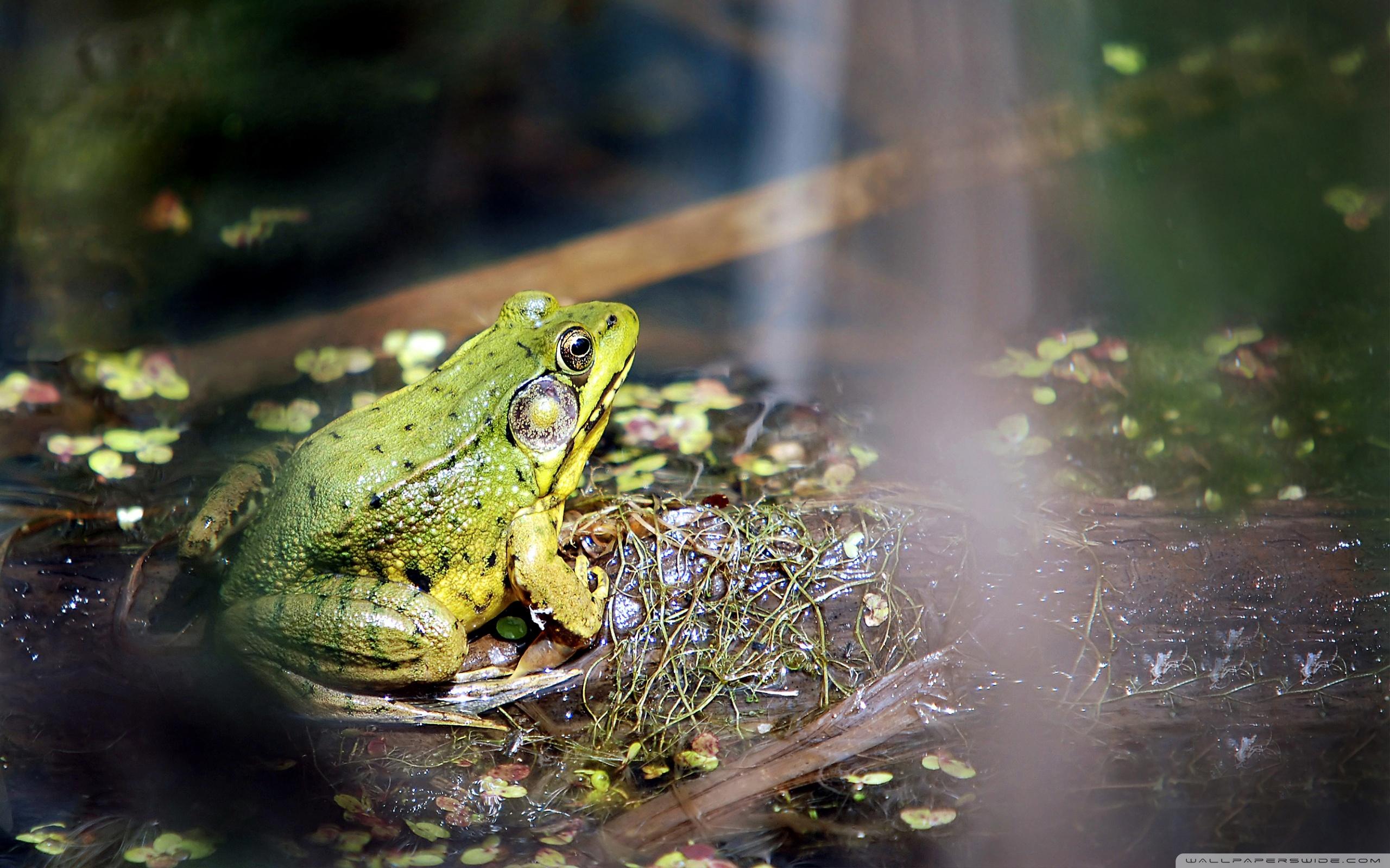 Картинки по Ðапросу фото гиф лягушки на болоте