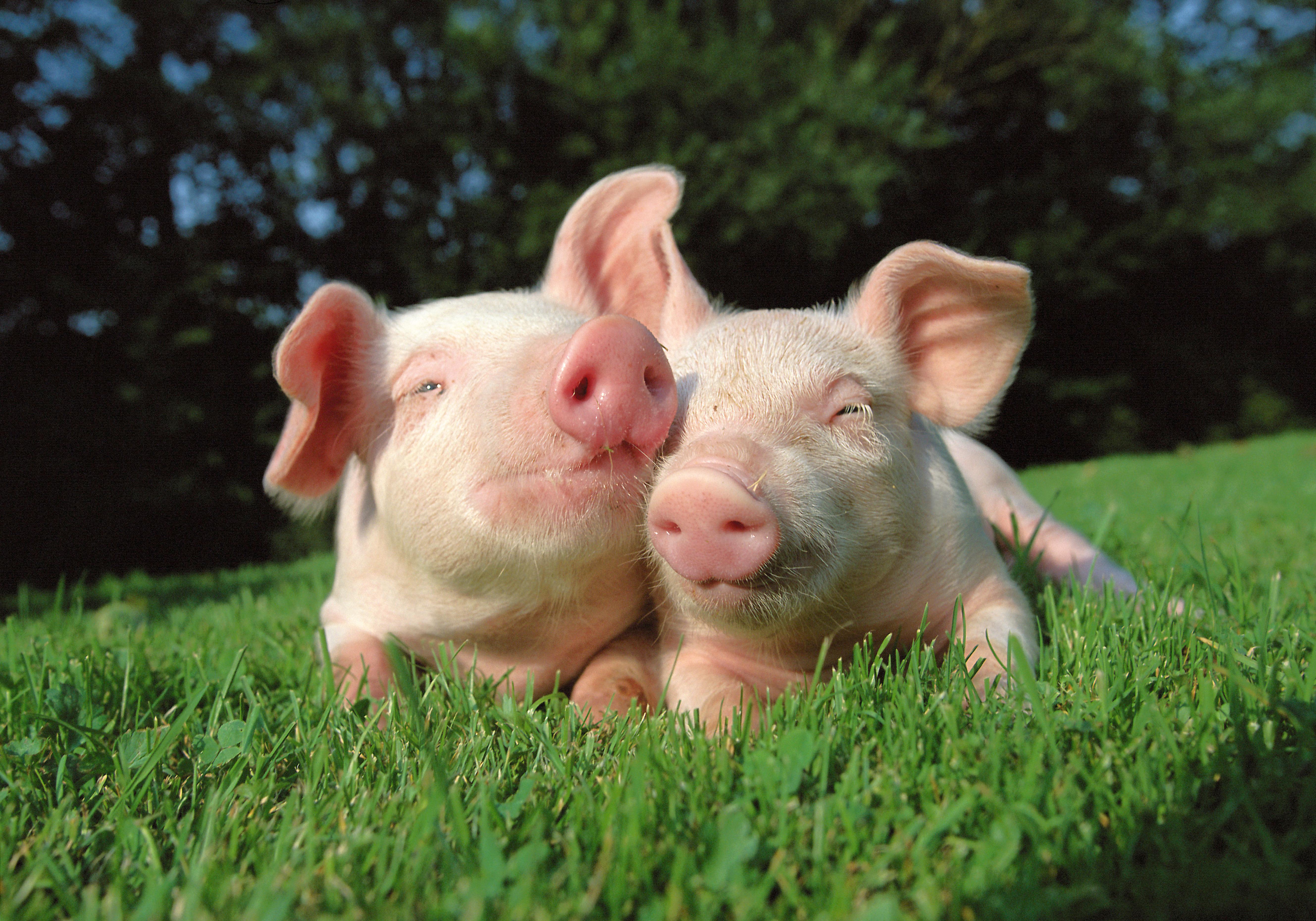 лилии картинки свиней с поросятами каком году входа
