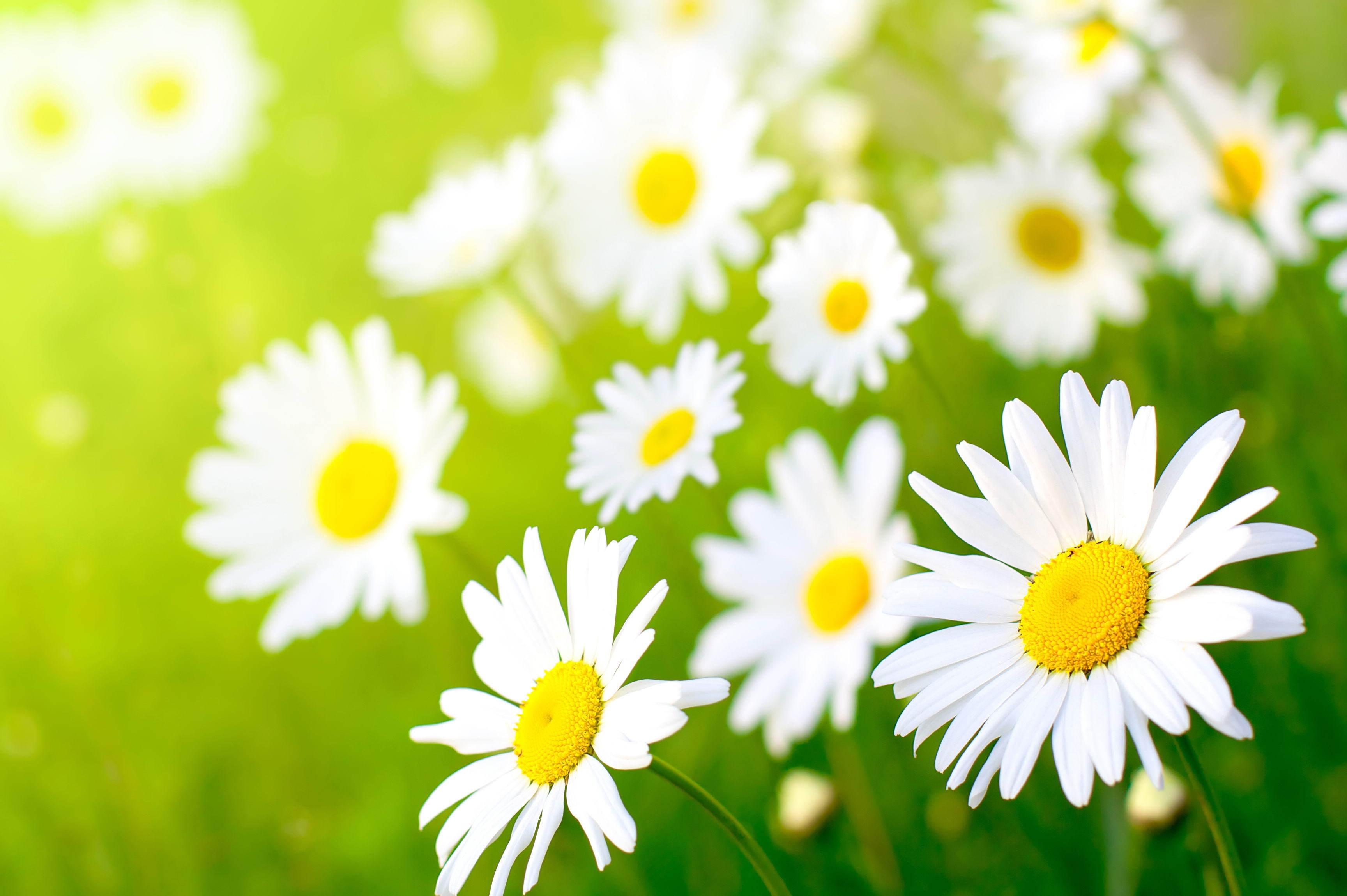 http://www.zastavki.com/pictures/originals/2012/Nature_Flowers_Field_chamomile_035661_.jpg