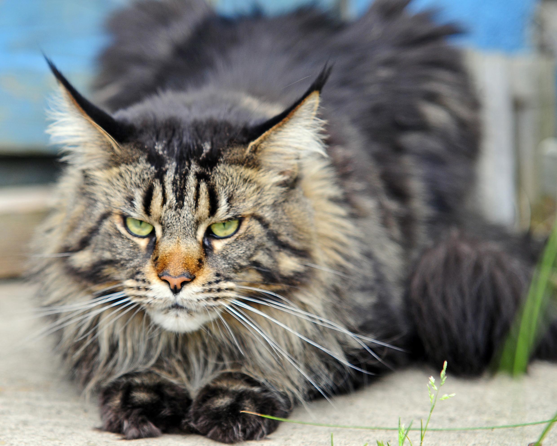 Кот порода майкун фото
