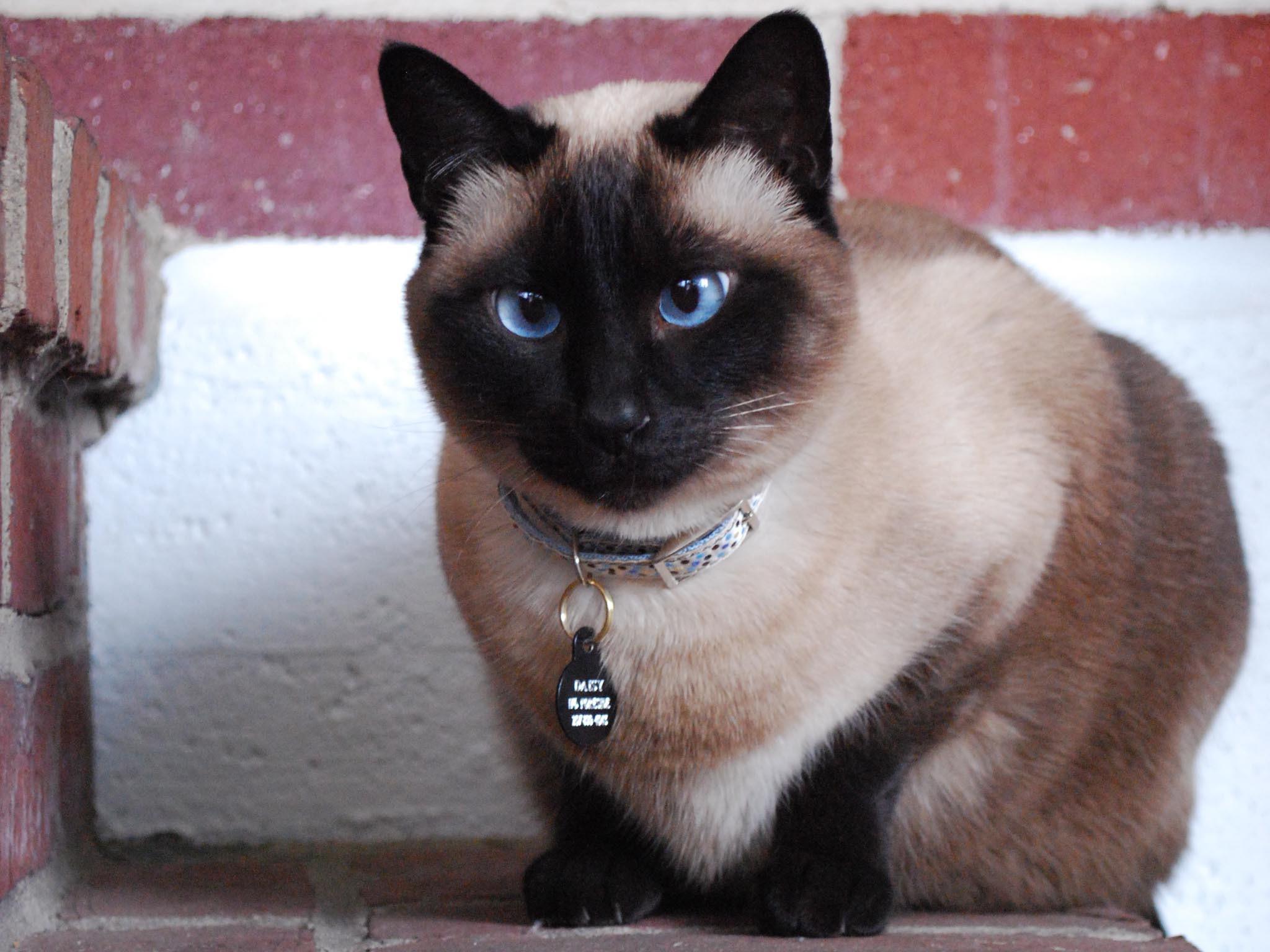сиамская кошка правила ухода