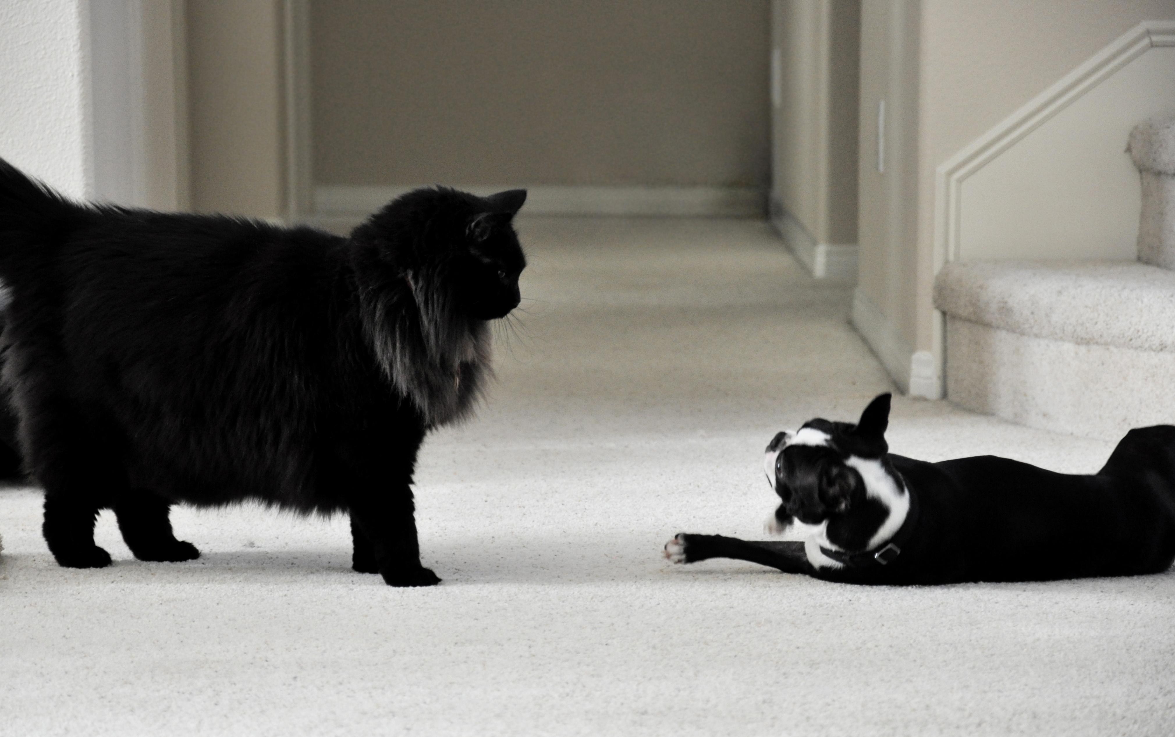richmond spca cats