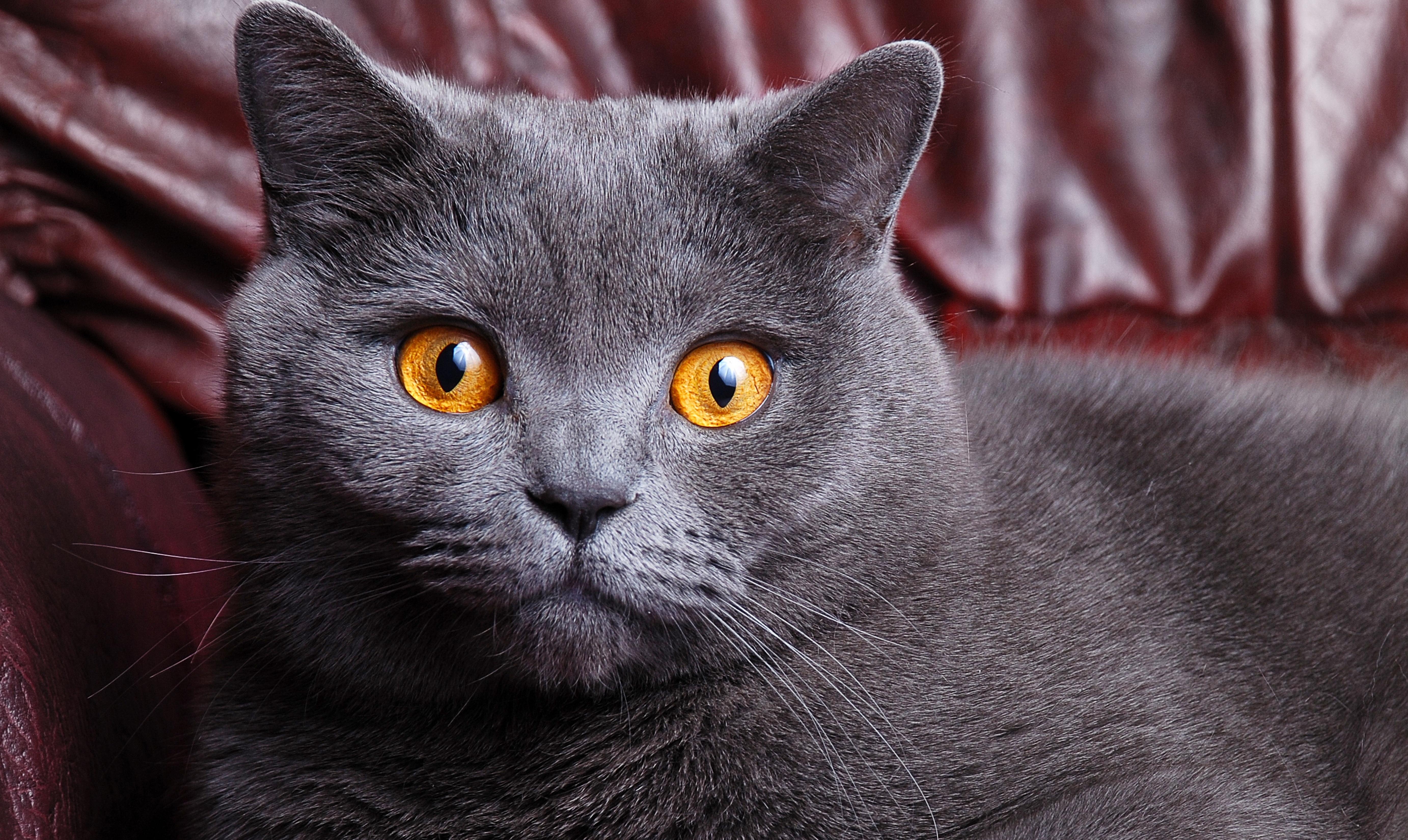 british shorthair eyes Orange blue