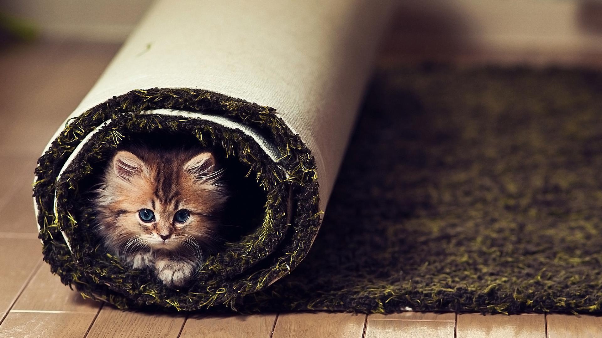 Funny Carpet cat on carpet - carpet vidalondon