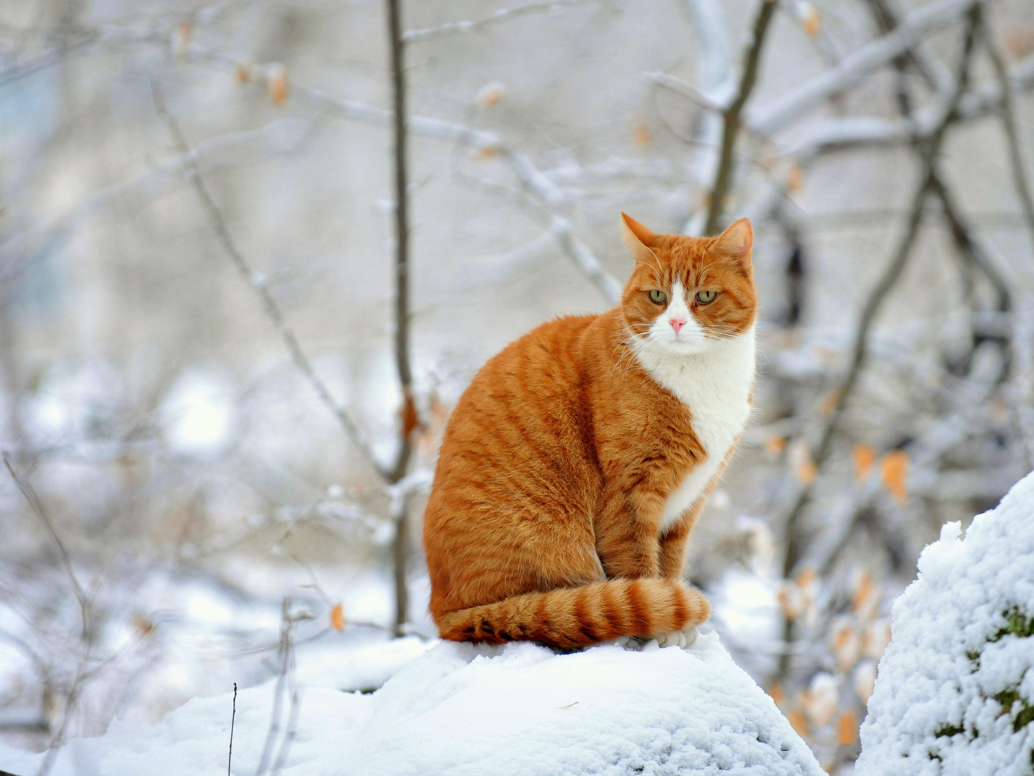 Картинки На Рабочий Стол Зима Котики