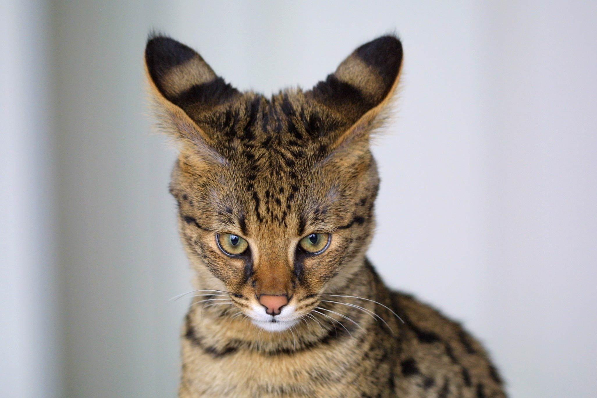 Animals___Cats_Savannah_cat_dissatisfied