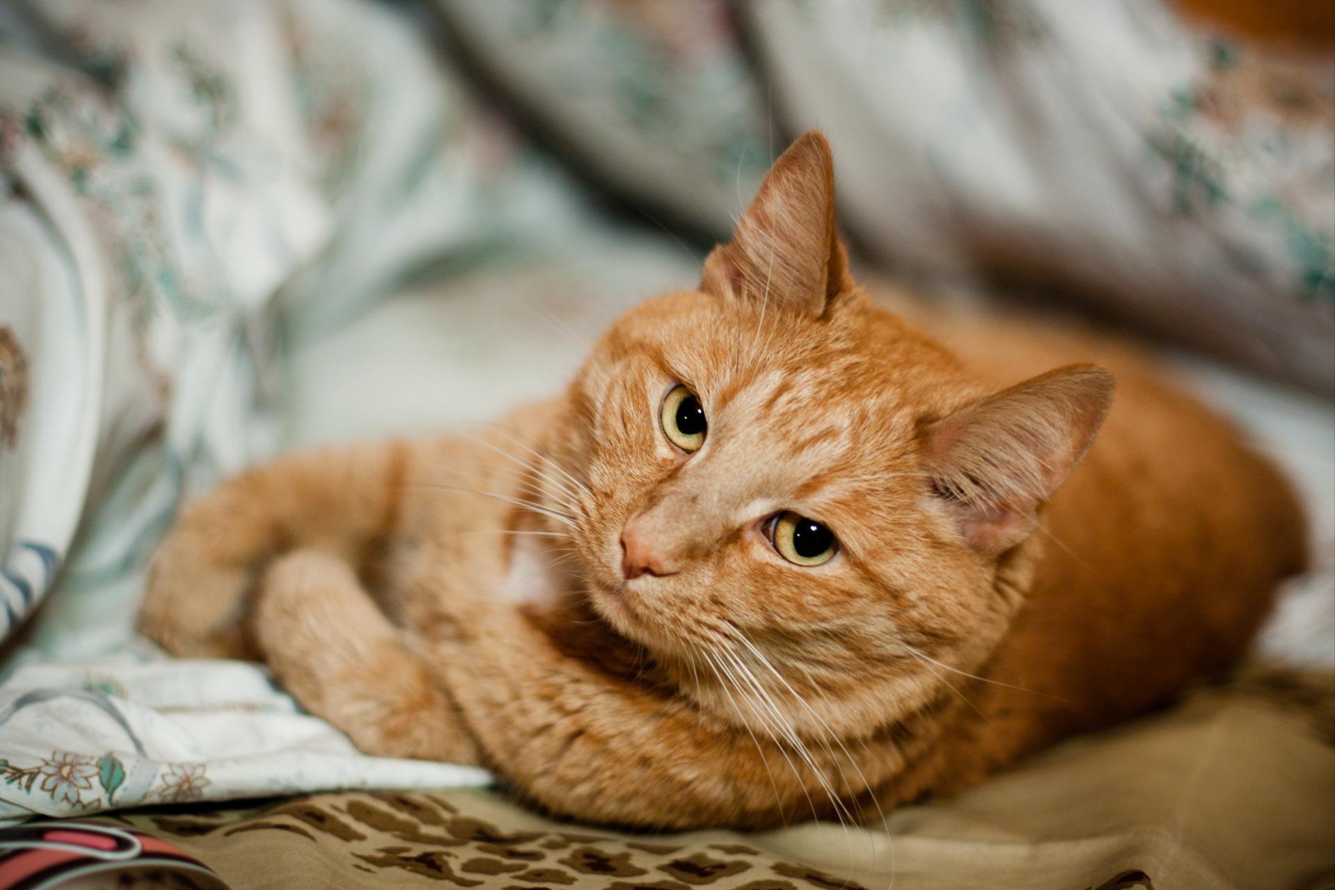 http://www.zastavki.com/pictures/originals/2013/Animals___Cats_Shorthair_red_cat_is_bored_044683_.jpg