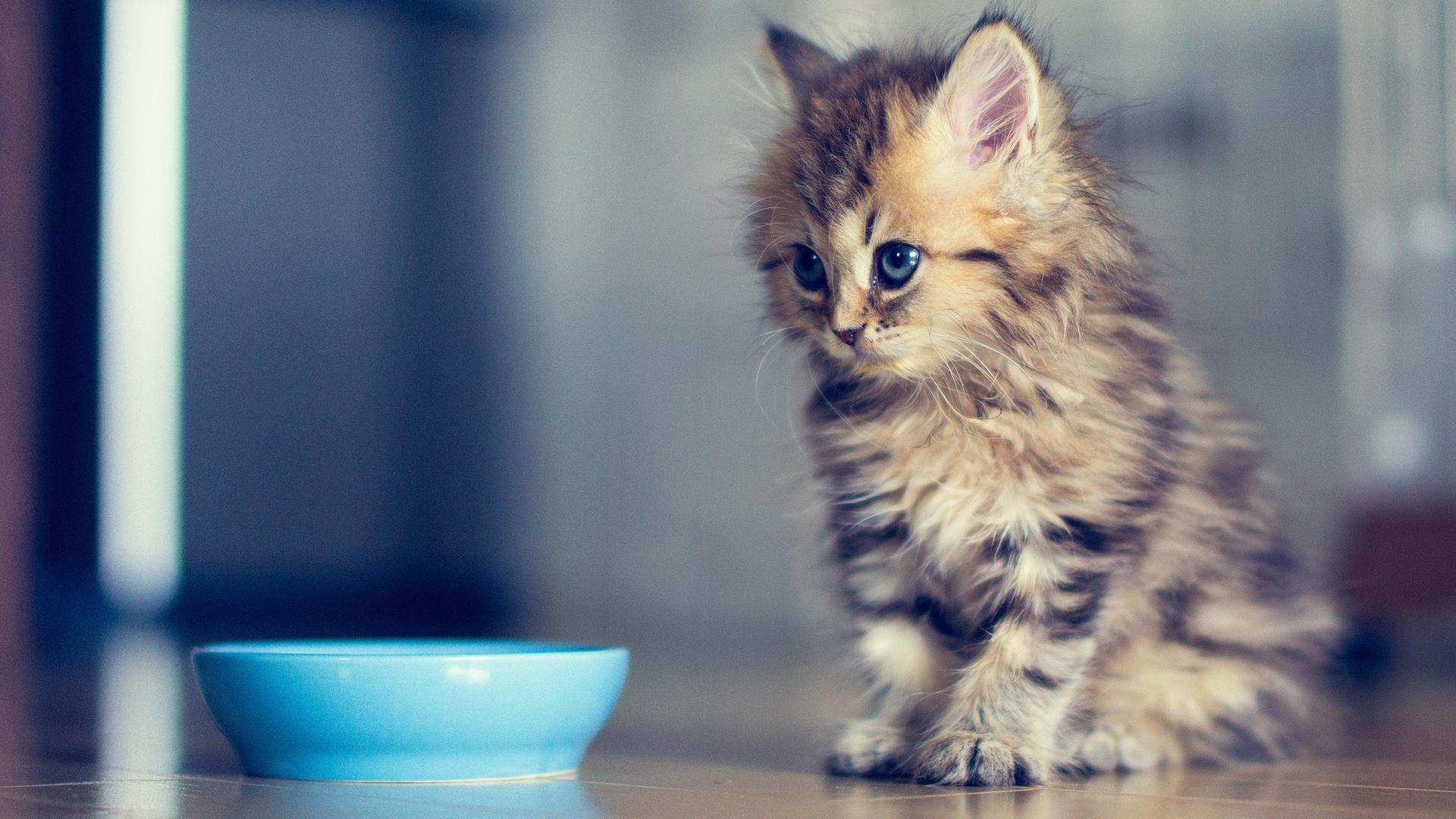 scottish fold munchkin cat price